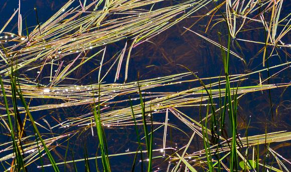 grass on a pond