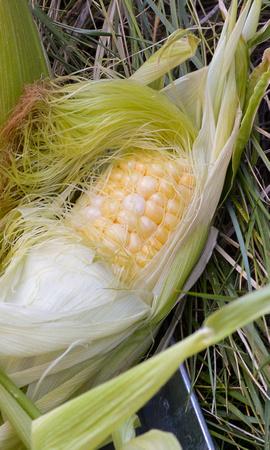 corn images-2