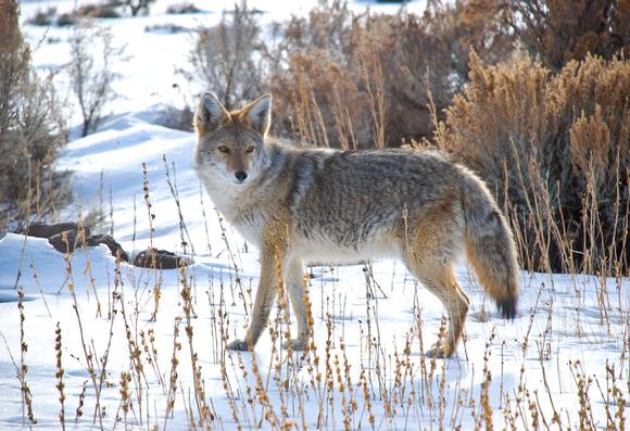 Nature animals winter coyote