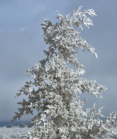 Juniper caked with ice fog