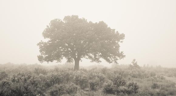Lone pinon in fog