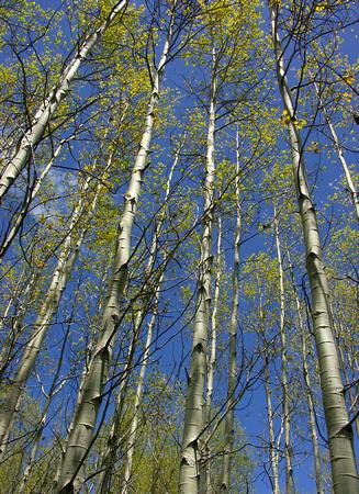 spring aspen reaching to the sky