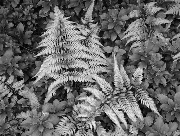 Japanese fern b & w