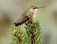 rufous hummingbird on mugo pine