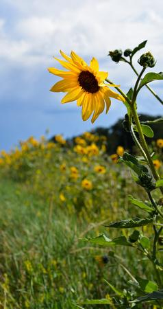 Sunflowers-3