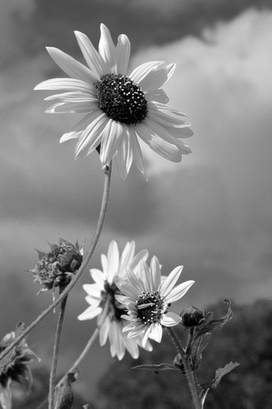 sunflower - black and white