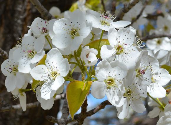 apple blossom white 1