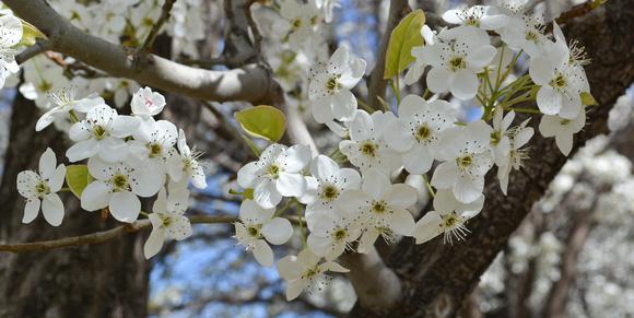 apple blossom white 3