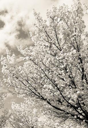 apple blossom white 4