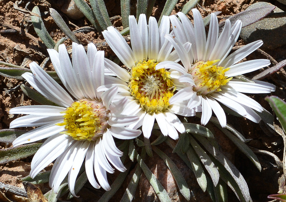 Easter daisies 2