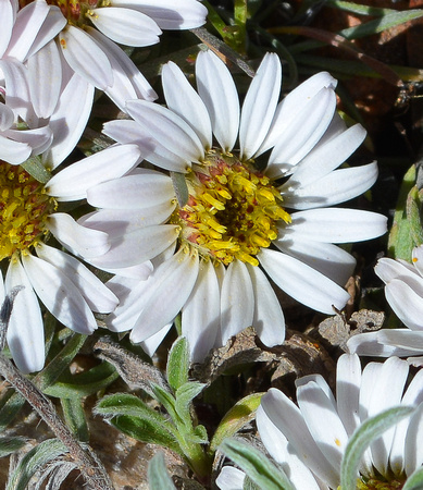 Easter daisies 1