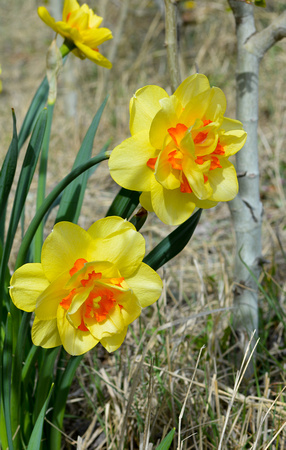 Daffodils (yellow and aspen)