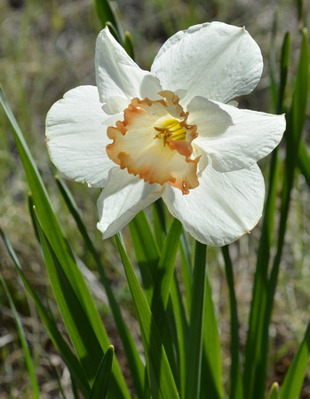 Daffodils (white front with shadows)