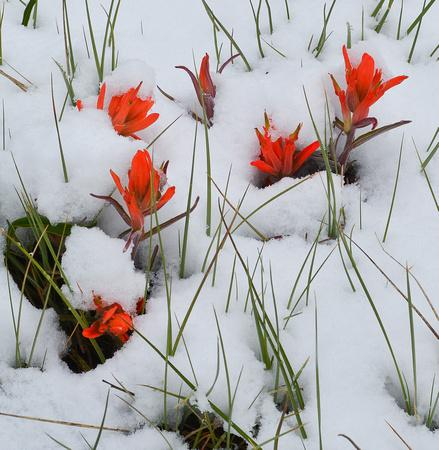 paintbrush in snow 2