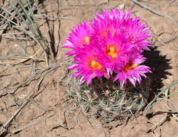 hedgehog cactus 6