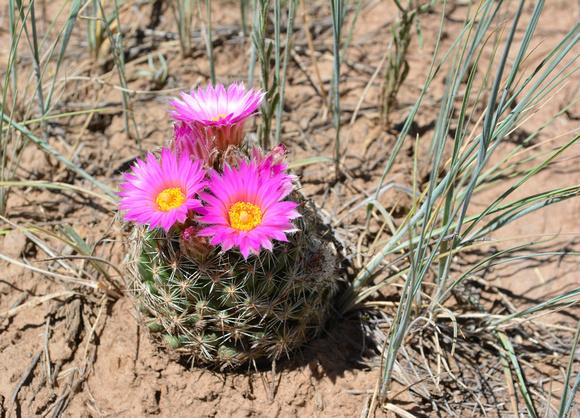 hedgehog cactus 2