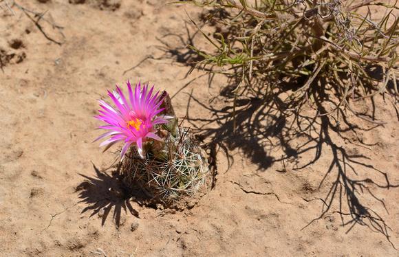 hedgehog cactus 4