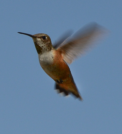 Nature - birds - hummingbirds (rufous - 3 - 2017)