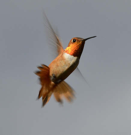 Nature - birds - hummingbirds (rufous - 4 - 2017)