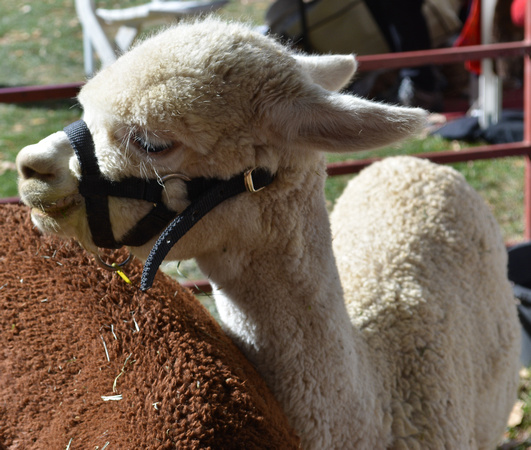 Wool Fest 2017 vicuña 2