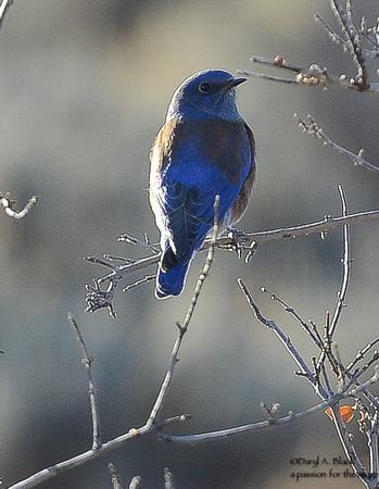 western bluebird, male 2