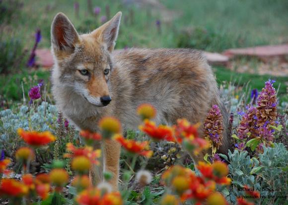 coyote in flowers