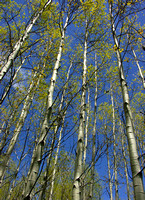 aspen spring reaching to the sky