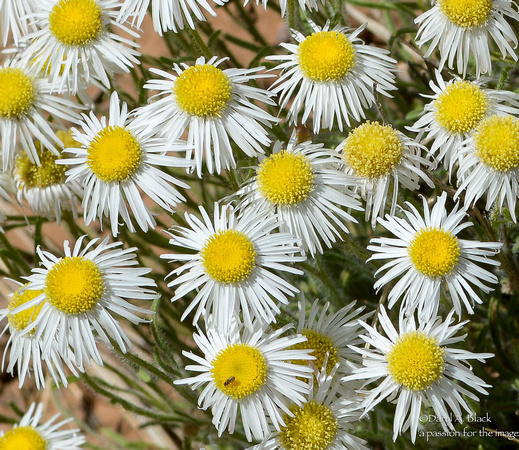 flowers - daisies