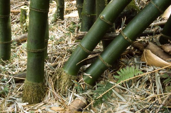 Hawaii bamboo 2