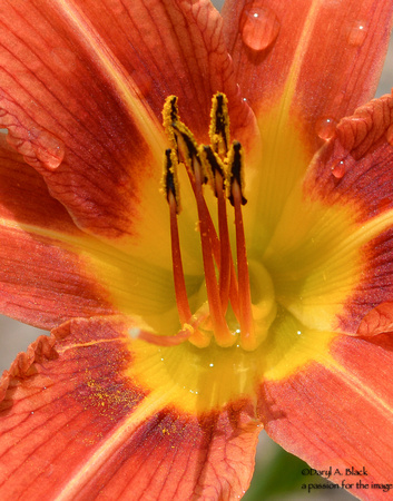 day lily detail