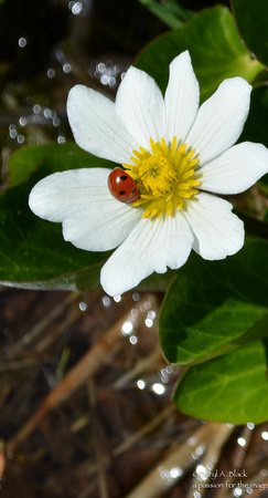 marsh marigold with lady bug
