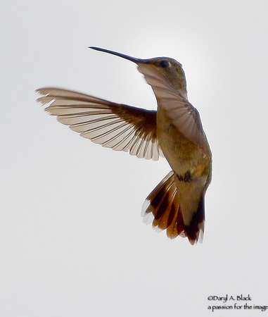 hummingbird hovering 1A