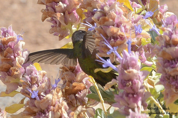 hummingbird in sage