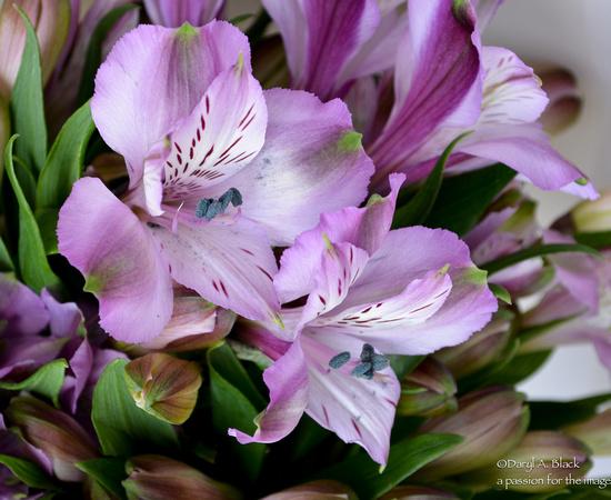 Peruvian lily 2