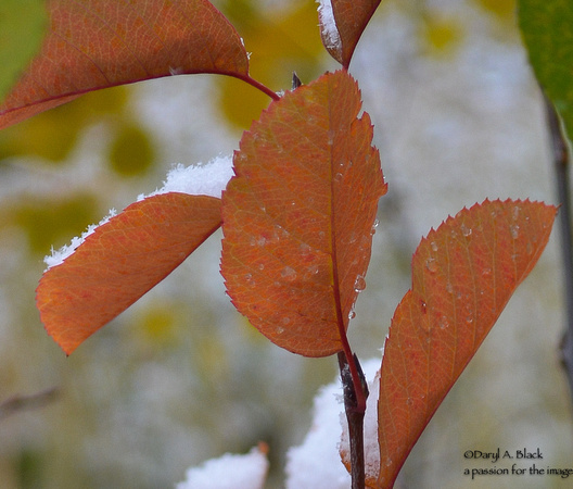 autumn serviceberry with snow