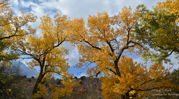 cottonwood tress - Ojo Caliente 1