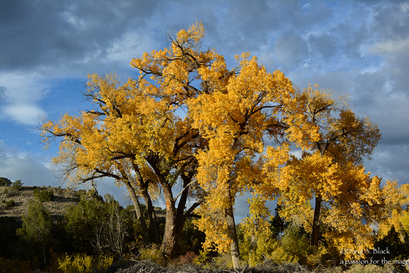 cottonwood tress - Ojo Caliente 3