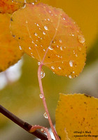 aspen leaf with water droplets
