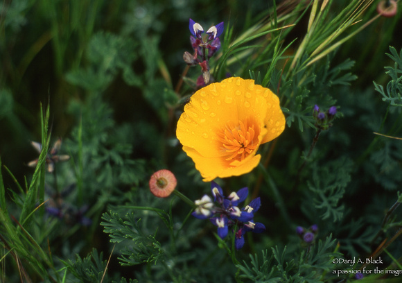 California poppy and lupine,  Point Reyes