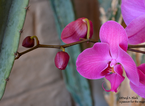 purple orchid against cactus 2