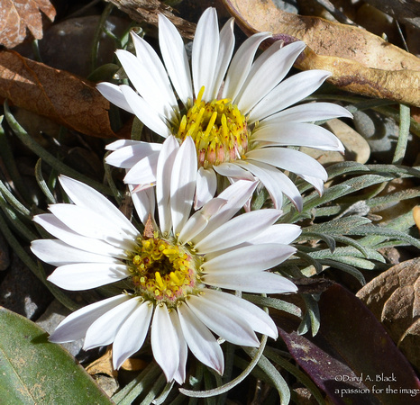 easter daisies-2