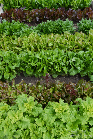 lettuce in rows