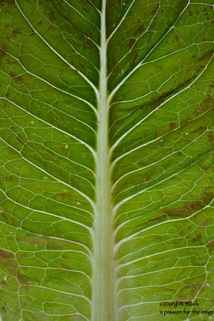lettuce veins