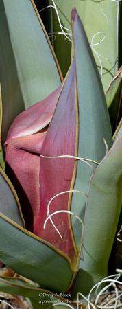yucca bloom stalk 1