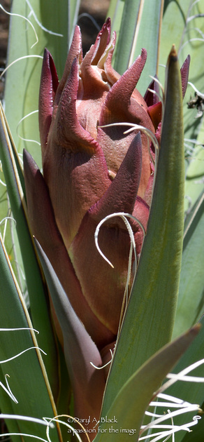 yucca bloom stalk 2