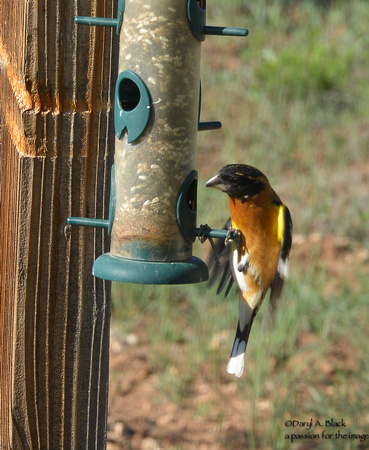 grosbeak getting seed
