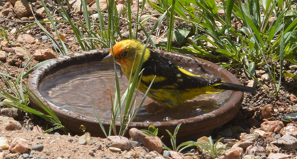 western tanager bathing 2