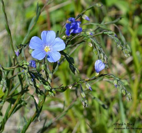 blue flax 2019