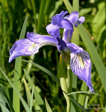 Wild iris 2019 A