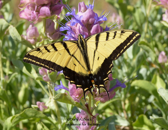 swallowtail on Salvia pachyphylla 4